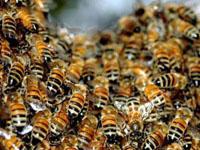 Народные средства от укуса пчелы