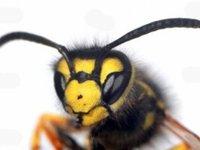 Укус пчелы при беременности