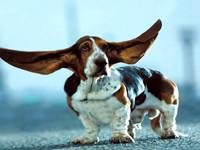Почему болят уши у собаки