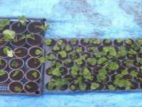 Выращивание рассады клубники в кассетах