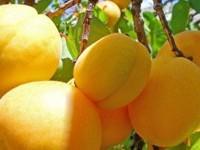 2012-06-19-turkiyenin-ilk-akredite-meyvesi